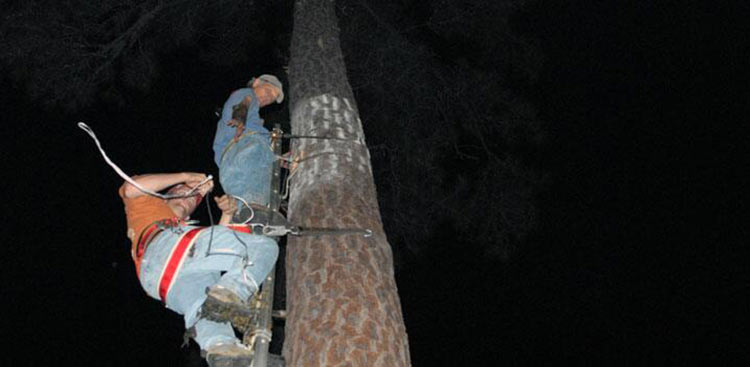 <strong>Vertebrate Ecology Program</strong><br />Jim Cox and Joshua McCormick climb a pine tree on Tall Timbers with a newly excavated cavity, to introduce a reloated Red-cockaded Woodpecker to its new home.
