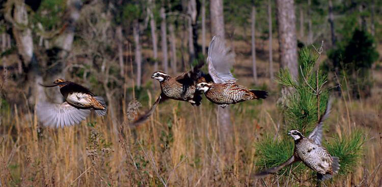 <strong>Game Bird Program</strong><br />Information from our applied research programs has helped create the best wild quail hunting in the world.