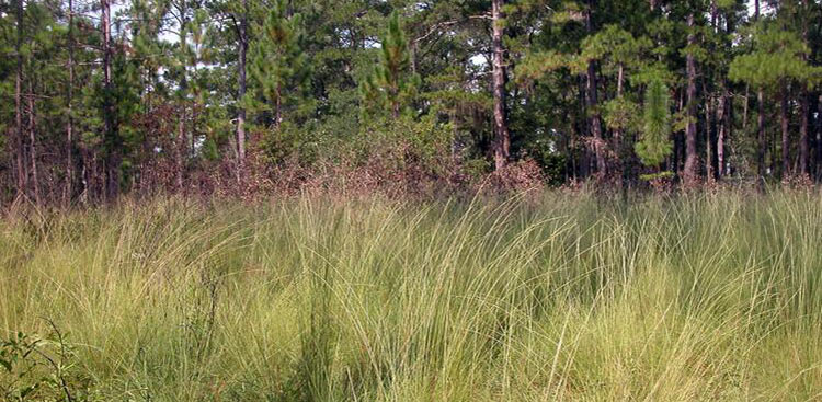 <strong>Wiregrass Restoration</strong><br />Wiregrass restoration area on Tall Timbers. Wiregrass is a native ground cover that is an important component of the fire-dependent longleaf ecosystem.