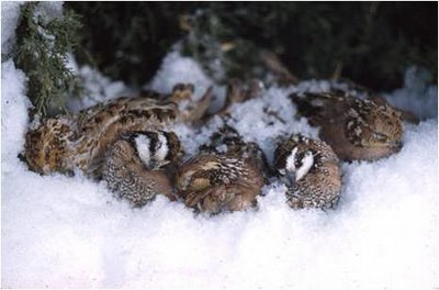 Heavy snows require specific habitat conditions to protect bobwhites.