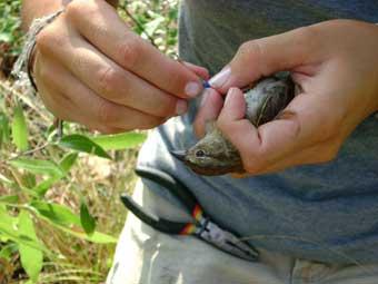 Banding a Bachman's Sparrow