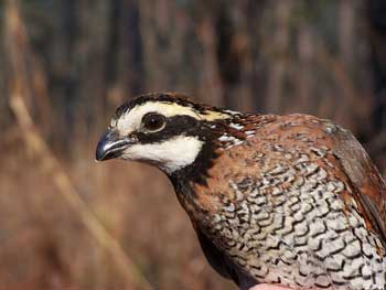 Understanding calling rates of males will improve our ability to measure bobwhite populations