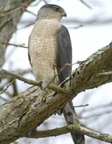 Cooper's hawks very in abundance on quail lands in relation to habitat, prey base, and weather patterns.