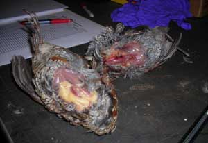 Difference in body condition of quail from fed area (foreground) and unfed area.