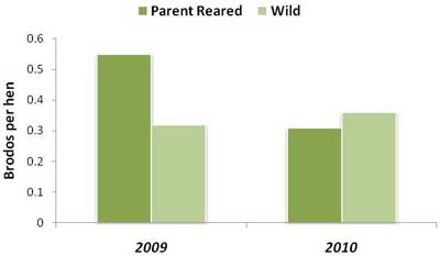As juveniles, surviving parent-reared bobwhites produced chicks of their own at rates similar to wild birds in 2009 and 2010.