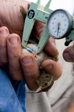 Captive Bachman's Sparrow