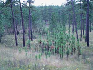 A typical patch of forest regeneration.