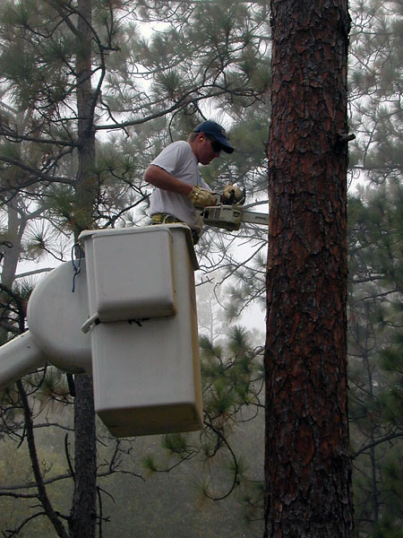 Biologist Greg Hagan prepares pine tree for artificial cavity insert.