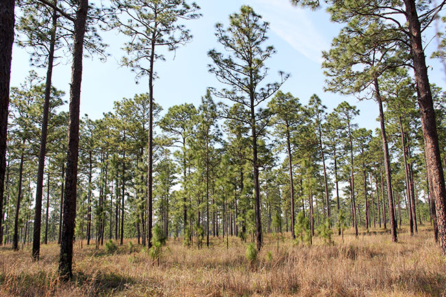 Dixie longleaf pine forest