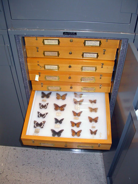 Buttefly collection donated to the museum by Lucian Harris