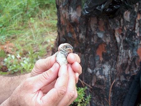 Juvenile Bachman's Sparrow
