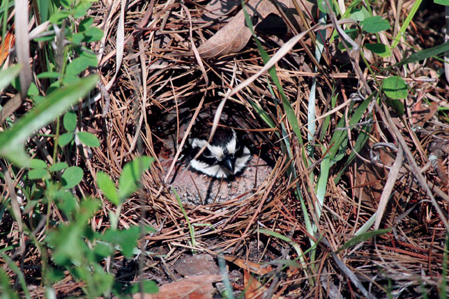 Male bobwhite on nest