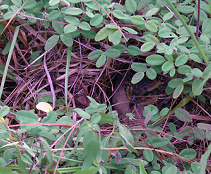Quail Nest; photo by Johnny Olson