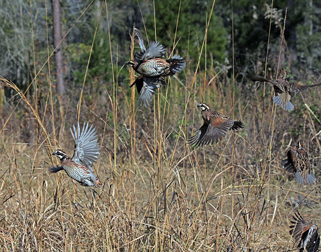 Bobwhite quail covey - photo#20
