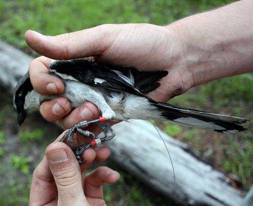 Tagged Loggerhead Shrike
