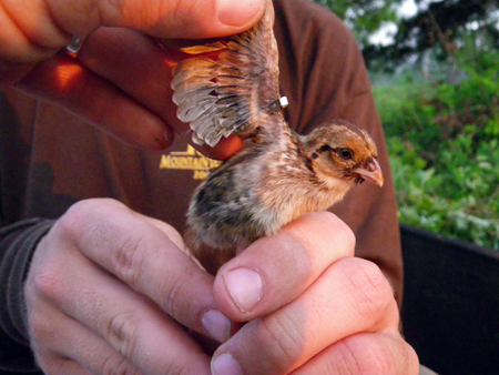 Banded quail chick