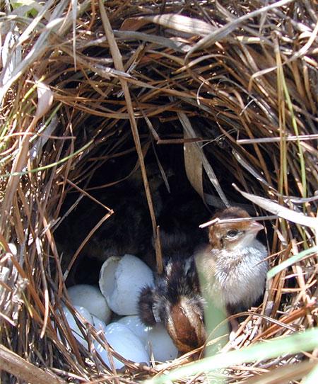 Quail chicks in nest