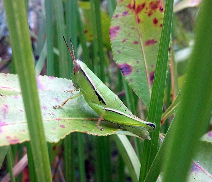 Grasshopper_Aptenopedes apalachee