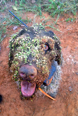 Gerti, Theron's bird dog, after working her following a covey call count during mid-October.