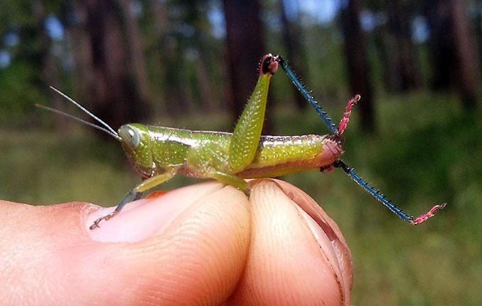 Grasshopper_Floritettix borealis