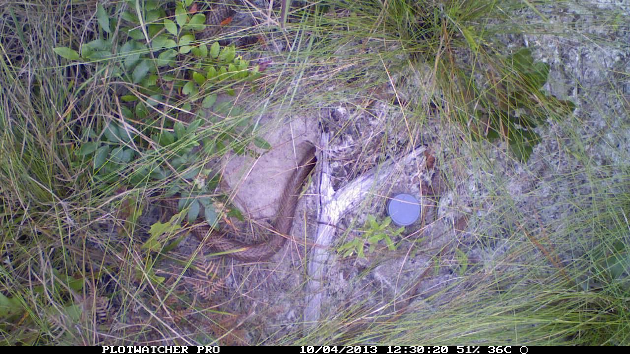 Coachwhip visits tortoise burrow