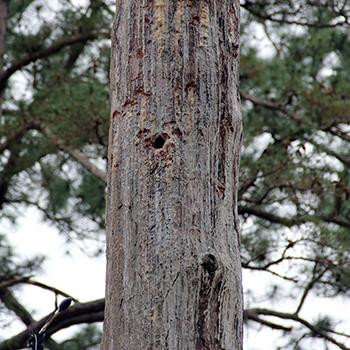 RCW Cavity in Pine Tree