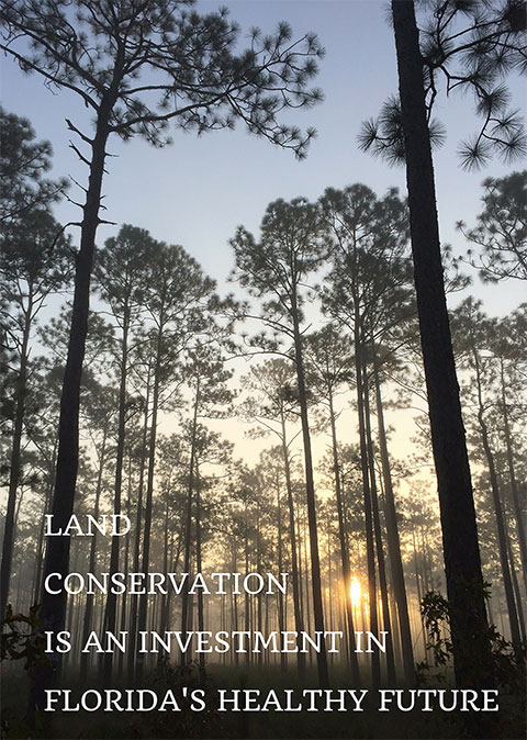 Longleaf pine forest at sunrise