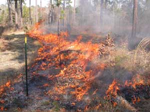 Prescribed fire at Pebble Hill Fire Plots, Georgia. Photo by Kevin Robertson.