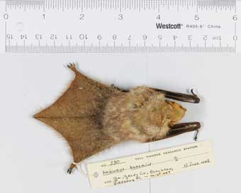 Red bat (Lasiurus borealis)