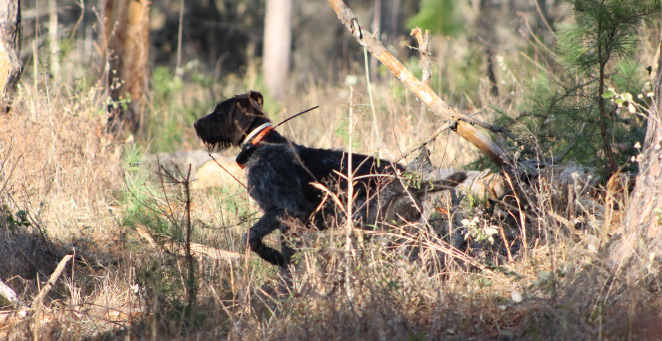The use of bird dogs is providing valuable information on covey behavior and predator evasion strategies.
