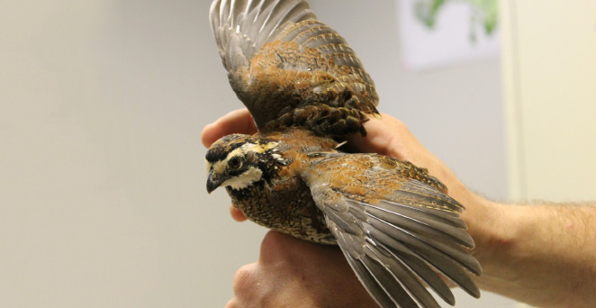 A juvenile male bobwhite ready to be leg-banded and radio-tagged.