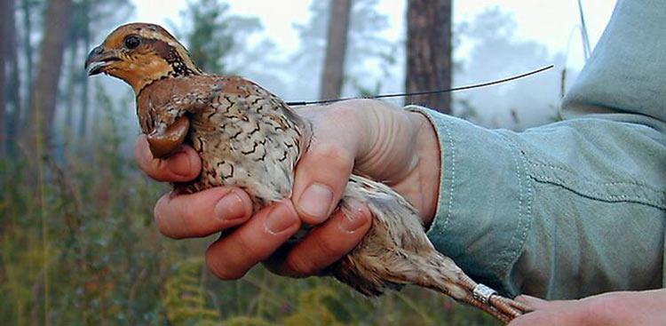 quailw-transandband