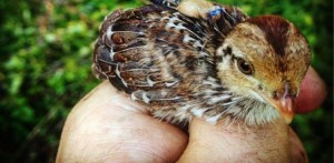 Radio-tagged bobwhite chick