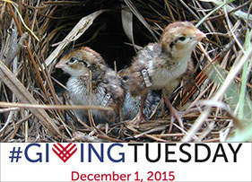 Giving Tuesday-banded quail chicks