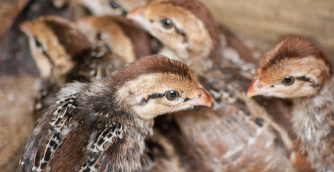 The Game Bird Program is using wild-strained birds to study bobwhite ecology and aid in restocking efforts.