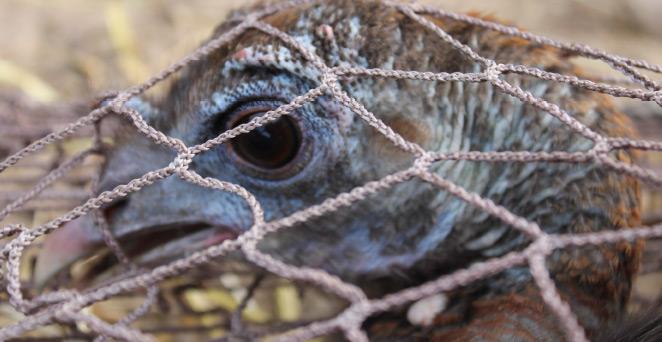 Wild turkey in a rocket net.