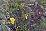 Chamaecrista-fasciculata---neutral-response-to-disturbance