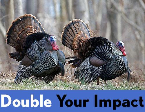 Turkey pair