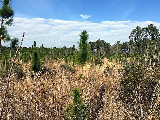 Longleaf pine-grassland