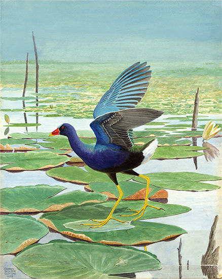 painting of a purple gallinule by George M. Sutton