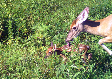 White-tailed Deer – Doe and Fawn