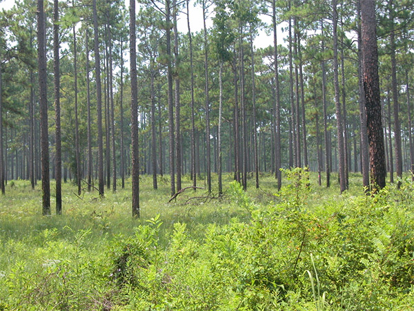 Tall Timbers Forest